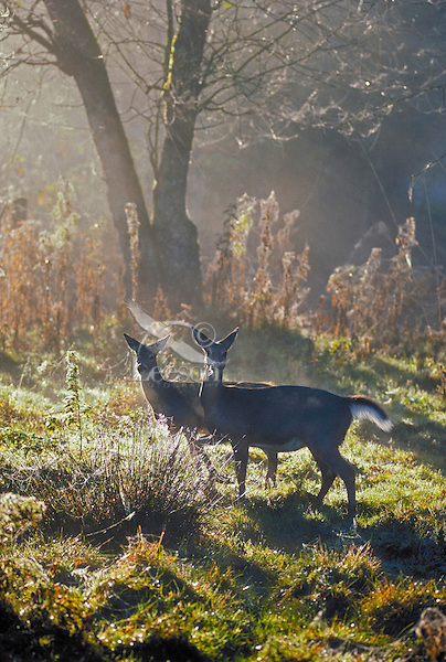 White-tailed deer. Adult doe and yearling doe in morning light..(Odocoileus virginianus)..Autumn. Canada.