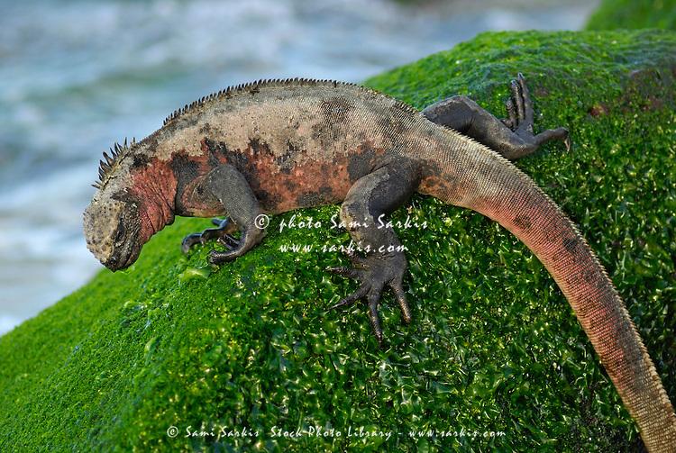 Marine Iguana (Amblyrhynchus cristatus) on rock covered with green seaweed - Ecuador, Galapagos Archipelago, Espanola Island.
