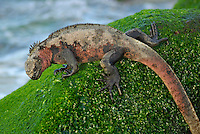 Marine Iguana (Amblyrhynchus cristatus) on rock covered with green seaweed - Ecuador, Galapagos Archipelago, Espanola Island.