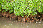 Ding Darling National Wildlife Refuge, Sanibel Island, Florida; Red Mangroves (Rhizophora mangle) at Red Mangrove Overlook © Matthew Meier Photography, matthewmeierphoto.com All Rights Reserved