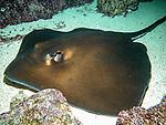 Southern stingray swimming left
