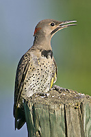 Yellow-shafted Northern Flicker perched on a fence post