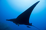 San Benedicto Island, Revillagigedos Islands, Mexico; a black manta ray swimming in blue water with the sun overhead