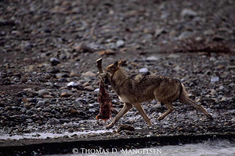 Gray Wolf carrying away a sheep's leg in Denali National Park.