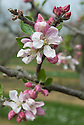 Blossom of Apple 'Cleeve', late April. An English dessert apple raised before 1930 by Sir Stanley Machin from seed of imported Canadian apple at Cleeve, Weybridge, Surrey.