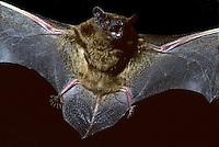 Rosse vleermuis (Nyctalus noctula) vlucht