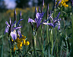 June, irises, golden banner, wildflowers, Rocky Mountains, Allenspark, Colorado