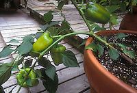 Green Bell peppers in pot on deck Capiscum vegetables in container garden at home growing, sweet pepper