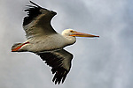 Fly Past, pelican at Bolsa Chica, CA.