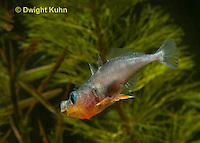 1S13-530z Male Threespine Stickleback yawning and stretching behavior, Mating colors showing bright red belly, blue eyes and sharp spines,  Gasterosteus aculeatus,  Hotel Lake British Columbia
