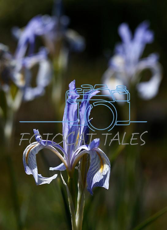 Wild irises bloom along the Leviathan Peak Loop, near Markleeville, Ca., on Saturday, July 7, 2019.<br /> Photo by Cathleen Allison/Nevada Momentum