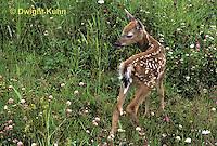 MA11-113z  White-tailed Deer - fawn - Odocoileus virginianus