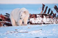 polar bear, Ursus maritimus, feeding on carcass of bowhead whale, Balaena mysticetus, 1002 Arctic Coastal Plain of the Arctic National Wildlife Refuge, Alaska ( Arctic ), polar bear, Ursus maritimus