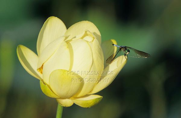 Blue Dasher, Pachydiplax longipennis, male on american lotus flower, Welder Wildlife Refuge, Sinton, Texas, USA