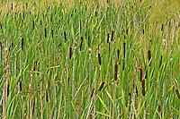 Breitblättriger Rohrkolben, blühend mit Pollen, Typha latifolia, Bulrush, Cat Tail, Massette à feuilles larges