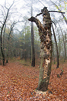 Spechtbaum, Specht hat in einem morschen Baumstamm viele Löcher zur Nahrungssuche gehackt, Spechte. Woodpecker tree, woodpecker has hacked many holes to the food search in a rotten trunk. Woodpecksers