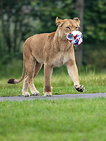 BNPS.co.uk (01202) 558833. <br /> Pic: CorinMesser/BNPS<br /> <br /> Pictured: One of the lionesses trots off with a deflated Eng-grrrrrrr-land ball.<br /> <br /> <br /> It's Harry Mane - the pride of England.<br /> <br /> Harry the lion looks to inspire the Three Lions for their Euro 2020 quarter-final match with his impressive footballing skills.<br /> <br /> Just like England's Harry Kane, the male lion is the leader of the pride of lions at Longleat Safari Park in Wiltshire.<br /> <br /> And when keepers tossed in a football to stimulate the group, Harry was the first one onto the pitch.<br /> <br /> He showed off his athletic prowess by stretching up to a tree branch to dislodge a red and white ball with the Three Lions emblem emblazoned on it.