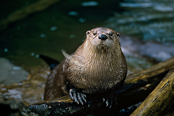 North American River Otter (Lontra canadensis).  Western U.S.