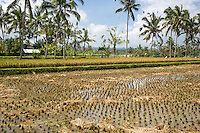Bali, Indonesia.  Rice Paddies.  The one in the background is almost ready to harvest.