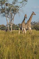 Okavango Delta_giraffe