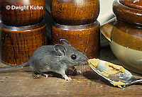 MU56-006z   Deer Mouse - immature young in kitchen  - Peromyscus maniculatus