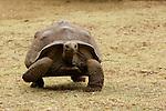 tortues géantes d'Aldabra.éserve des tortues de François Leguat à anse Quitor tortues géantes d'Aldabra .réserve des tortues de François Leguat à anse Quitor