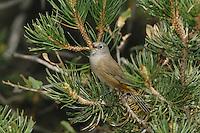 Colima Warbler (Vermivora crissalis), male singing, Chisos Mountains, Big Bend National Park, Chihuahuan Desert, West Texas, USA