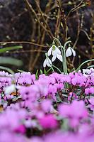 Galanthus Plicatus Kew