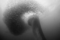 Bryde's whale, Balaenoptera edeni, plunges through a baitball of sardines, Sardinops sagax, during annual Sardine Run off east coast of South Africa (dm)