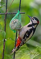 Buntspecht an der Vogelfütterung, Bunt-Specht, Specht, Spechte, Dendrocopos major, Picoides major, Great Spotted Woodpecker, Woodpeckers, Pic épeiche, Ganzjahresfütterung, Vögel füttern im ganzen Jahr