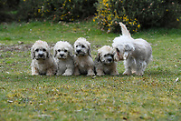 BNPS.co.uk (01202 558833)<br /> Pic: ZacharyCulpin/BNPS<br /> <br /> Dandie Dinmont Terrier puppies pictured with mother Polly (right). <br /> <br /> Pictured:  A new litter of Dandie Dinmont Terriers, only 87 puppies were born last year. <br /> <br /> Has this breed of dog had its day?<br /> <br /> There are fears the otterhound, Britain's rarest breed of dog, is on the verge of extinction after just seven puppies were born last year.<br /> <br /> While the coronavirus lockdowns sparked record sales of puppies like Labradors and French Bulldogs, the same can not be said for some traditional British species.<br /> <br /> Chief among them is the otterhound, one of Britain's oldest breeds that dates back to the 12th century.