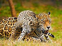 Jaguar (Panthera onca) cub snuggles against mother?s cheek