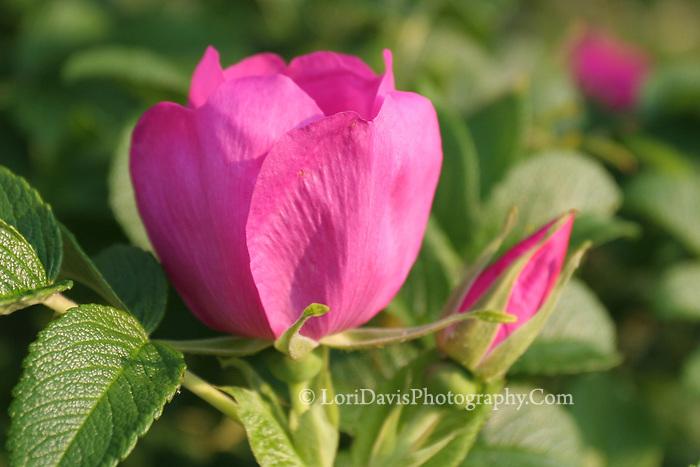 Pink Rugosa Rose Bud  #F23