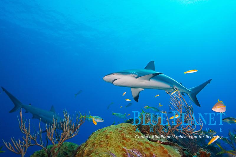 Caribbean reef shark, Carcharhinus perezii, over coral reef, West End, Bahamas, Atlantic Ocean