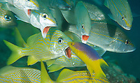Grunts opening there mouths for a Spanish Hogfish