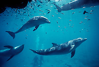 Scuba divers observing pod of Bottlenose Dolphins, Tursiops truncatus, Dolphin Reef, Eilat, Israel, Red Sea.