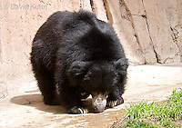 0326-1001  Sloth Bear (Labiated Bear), Melursus ursinus  © David Kuhn/Dwight Kuhn Photography.
