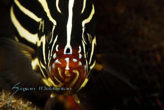 Six Lined Soapfish, Grammistes sexlineatus, Lembeh Straits, Sulawesi Sea, Indonesia, Amazing Underwater Photography
