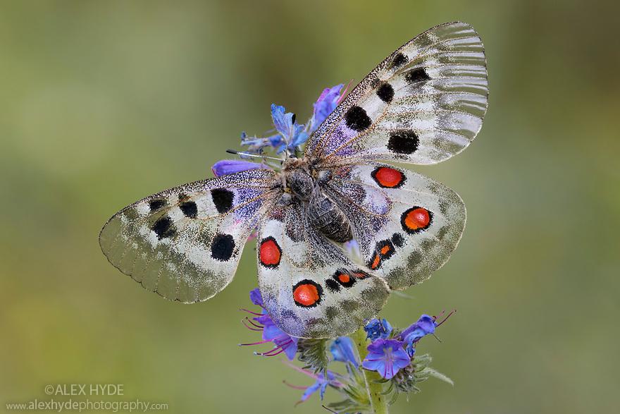 Apollo butterfly (Parnassius apollo) Nordtirol, Austrian Alps, Austria, June.