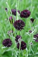 Pictorial Meadow - Volcanic Mix - Cornflower