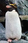 Macaroni penguin, South Georgia Island