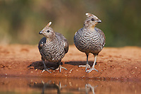 Scaled Quail (Callipepla squamata), pair drinking, Rio Grande Valley, Texas, USA