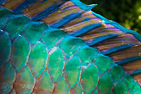 A close-up of either uhu or parrotfish scales seen while spearfishing in Waialua Bay, O'ahu.