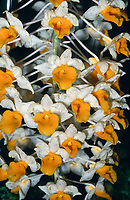 Orchid species: Dendrobium thyrsiflorum, wilting fading flowers, Pinecone-like Raceme Dendrobium. It is native to the Himalayas