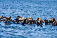 Sea Otter Raft, California sea otter, Enhydra lutris nereis, rafting, Monterey, California, USA, Pacific Ocean
