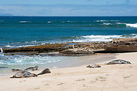 two seals emerge from the water to join a group of Hawaiian monk seals, Neomonachus schauinslandi, Critically Endangered endemic species, resting on beach at west end of Molokai, USA, Pacific Ocean