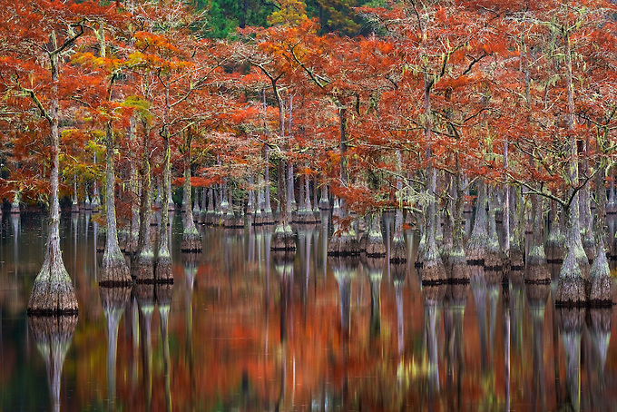 Beautiful fall color on old cypress trees reflected on the calm water of this small cove in the swamplands of the southern United States.