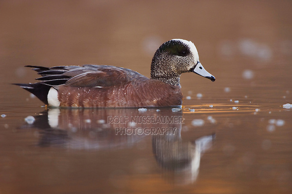 American Wigeon, Anas americana, adult male swimming, Hill Country, Texas, USA, April 2007