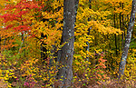 Autumn forest in northern Wisconsin.