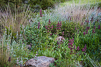 Ornamental grasses and Salvia spathacea in  drought tolerant California native plant garden